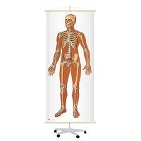 Анатомические карты и плакаты